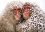 monkeys-in-snow